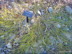 Phil Bendle Collection:Carmichaelia appressa (Prostrate broom)