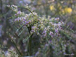 Phil Bendle Collection:Carmichaelia odorata (Scented broom)