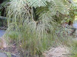 Phil Bendle Collection:Carmichaelia stevensonii (Weeping Broom)