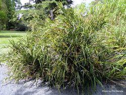 Phil Bendle Collection:Carmichaelia williamsii (Giant flowered broom)