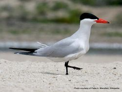 Phil Bendle Collection:Tern (Caspian) Hydroprogne caspia