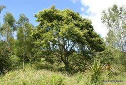 Phil Bendle Collection:Quercus castanea (Castanea Oak)