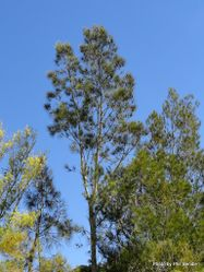 Phil Bendle Collection:Casuarina glauca (Swamp oak)