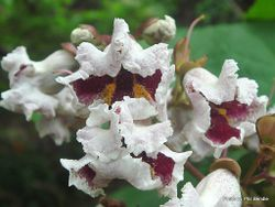Phil Bendle Collection:Catalpa x erubescens (Hybrid)