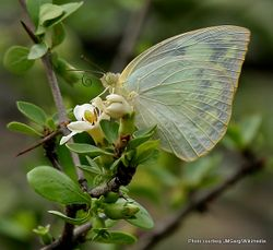 Phil Bendle Collection:Lemon emigrant butterfly (Catopsilia pomona pomona)