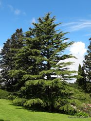 Phil Bendle Collection:Cedrus deodara (Himalayan cedar)