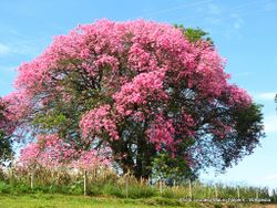 Phil Bendle Collection:Ceiba speciosa (Silk Floss Tree)