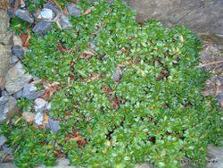Phil Bendle Collection:Celmisia bellidioides (Green cushion mountain daisy)