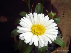 Phil Bendle Collection:Celmisia dallii (Dall s mountain daisy)