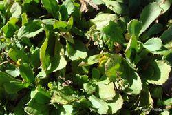Phil Bendle Collection:Celmisia glandulosa var. latifolia (Egmont Bog Mountain Daisy)