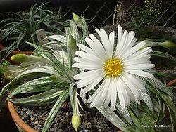Phil Bendle Collection:Celmisia gracilenta (Common mountain daisy)