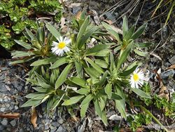 Phil Bendle Collection:Celmisia hieracifolia (Sticky stalked daisy)
