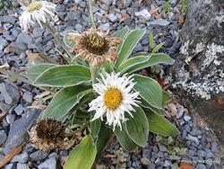 Phil Bendle Collection:Celmisia hookeri (Hooker s mountain daisy)
