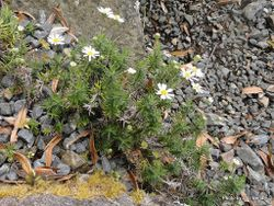 Phil Bendle Collection:Celmisia lateralis (Shrub Daisy)