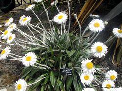 Phil Bendle Collection:Celmisia spectabilis (Common Mountain daisy)