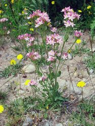 Phil Bendle Collection:Centaurium erythraea (Centaury)
