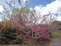 Phil Bendle Collection:Cercis siliquastrum (Judas Tree)