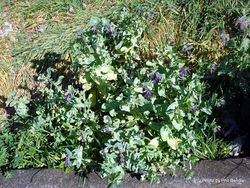 Phil Bendle Collection:Cerinthe major (Honeywort)