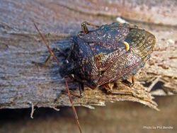 Phil Bendle Collection:Bug (Shield bug) (Brown Soldier Bug) (Cermatulus nasalis)