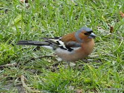 Phil Bendle Collection:Chaffinch (Fringilla coelebs gengleri)