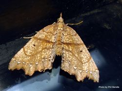 Phil Bendle Collection:Chalastra pellurgata (Hard fern moth)
