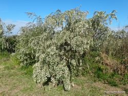 Phil Bendle Collection:Cytisus proliferus (Tree Lucerne)