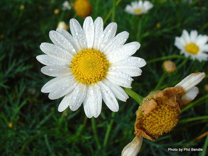 Chamomile Anthemis nobilis-1.JPG
