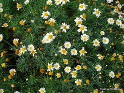 Phil Bendle Collection:Anthemis nobilis (Chamomile)