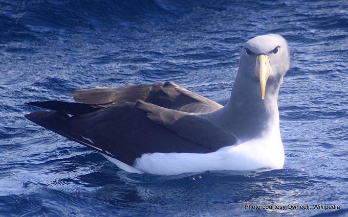 Chatham Albatross (Thalassarche eremita) -001.jpg