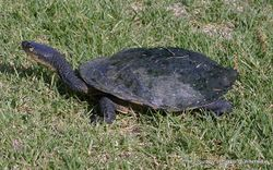 Phil Bendle Collection:Turtle (Eastern long-necked) Chelodina longicollis