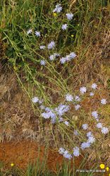 Phil Bendle Collection:Cichorium intybus (Common Chicory)