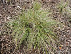 Phil Bendle Collection:Chionochloa beddiei (Cook Strait Tussock) Native