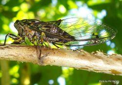 Phil Bendle Collection:Cicada (Chorus cicada) Amphipsalta zealandica