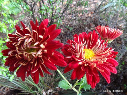 Chrysanthemum sp.-003.JPG