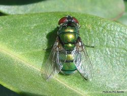 Phil Bendle Collection:Fly (Hairy maggot blowfly) Chrysomya rufifacies