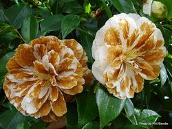 Phil Bendle Collection:Ciborinia camelliae (Camellia Flower Blight)