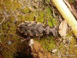 Phil Bendle Collection:Beetle (Tiger, South Island) Neocicindela garnerae