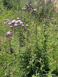 Phil Bendle Collection:Cirsium arvense (Californian Thistle)