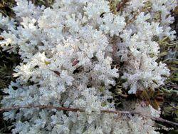 Phil Bendle Collection:Cladia retipora (Coral lichen)