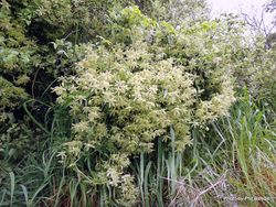 Phil Bendle Collection:Clematis foetida (Yellow clematis)