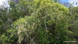 Phil Bendle Collection:Clematis forsteri (Forster s Clematis)
