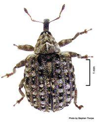 Phil Bendle Collection:Weevil (Buddleja leaf) Cleopus japonicus