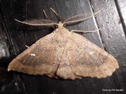 Phil Bendle Collection:Cleora scriptaria (Kawakawa moth) .