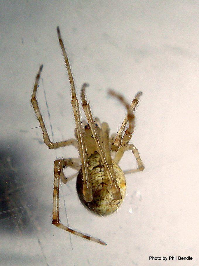 Cobweb Spider Cryptachaea gigantipes -003.JPG