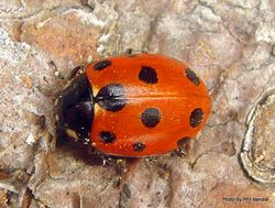 Phil Bendle Collection:Ladybird (Elevenspotted) Ladybird (Elevenspotted) Coccinella undecimpunctata