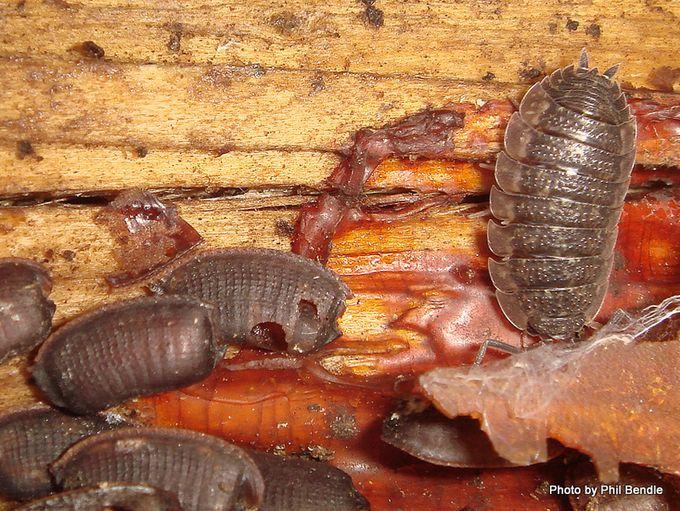 Cockroach egg cases genus Celatoblatta.JPG