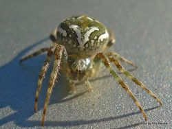 Phil Bendle Collection:Orbweb spider (Colaranea verutum)