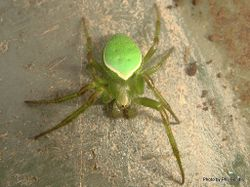 Phil Bendle Collection:Orbweb spider (Green) Colaranea viriditas