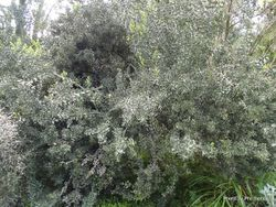 Phil Bendle Collection:Colletia paradoxa (Anchor Plant)