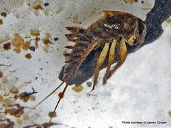 Phil Bendle Collection:Mayfly nymph (Genus Coloburiscu) Coloburiscus humeralis